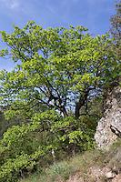 Flaumeiche, Flaum-Eiche, Eiche, Quercus pubescens, Syn. Quercus lanuginosa, Downy Oak, Pubescent Oak