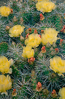 Prickly-pear cactus<br />