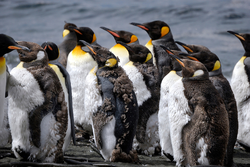 Rebel in the crowd - King penguins at Sandy Macquarie Island