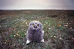 Snowy owlet, Arctic National Wildlife Refuge, Alaska, USA