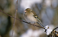 Buchfink, Weibchen, Fringilla coelebs, chaffinch