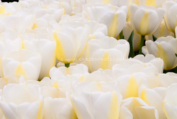 Tulipa 'Angel's Dream' (white tulips)