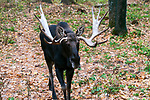 Bull moose walking towards camera 3/4 shot.