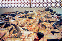 carcasses of olive ridley sea turtles, Lepidochelys olivacea, in slaughterhouse, (now closed) Oaxaca, Mexico