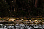 Harbor Seal (Phoca vitulina) group on shore, Elkhorn Slough, Monterey Bay, California
