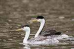 Lake Hodges, Escondido, San Diego, California; a mating pair of Clark's Grebes (Aechmophorus clarkii)  with newborn chicks tucked under the feathers of the mother's back, swimming across the surface of Lake Hodges