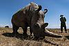 Rhinoceros blanc du nord, OL PEJETA CONSERVANCY 2021