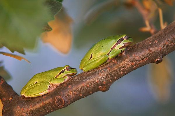 Common Tree Frog, Hyla arborea, adults resting, National Park Lake Neusiedl, Burgenland, Austria, April 2007