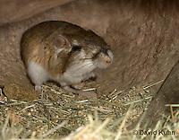 1114-0804  Merriam's Kangaroo Rat Underground in Burrow, Dipodomys merriami © David Kuhn/Dwight Kuhn Photography