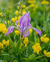 Tough Leaf Iris (sometimes also called Oregon Iris, or wild iris) with golden peas.  Pacific Northwest.  Spring.