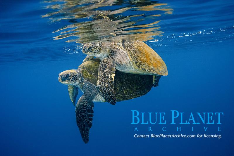 green sea turtle, Chelonia mydas, mating, Chichi-jima, Bonin Islands, Ogasawara Islands, UNESCO World Heritage Site,  Tokyo, Japan, Pacific Ocean