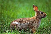 MA24-008z   Cottontail Rabbit - Sylvilagus floridanus.