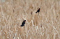 Redwing Blackbirds asserting their territory among the cattails of Gull Lake Alberta.