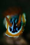 Magnificent chromodoris, Chromodoris magnifica, Alor Island, Nusa Tenggara, Indonesia, Pacific Ocean