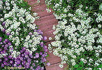 HS64-002b  Alyssum - Carpet of Snow variety - Lobularia maritima