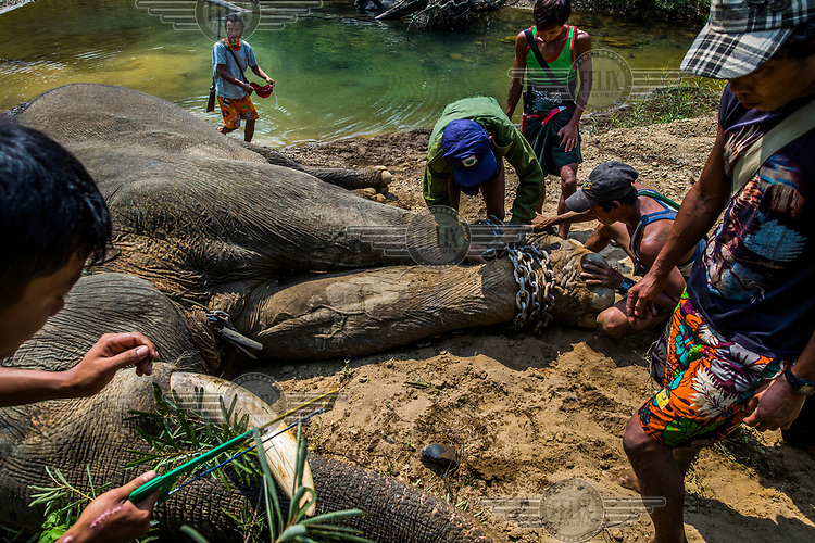 A team of two veterinarians, one tranquiliser shooter, and mahouts cut about five inches off the tip of the dangerous tusks of the incapacitated elephant Thaung Cho. The aggressive bull elephant had killed two men while under the influence of musth, a periodic condition characterised by high testosterone levels.