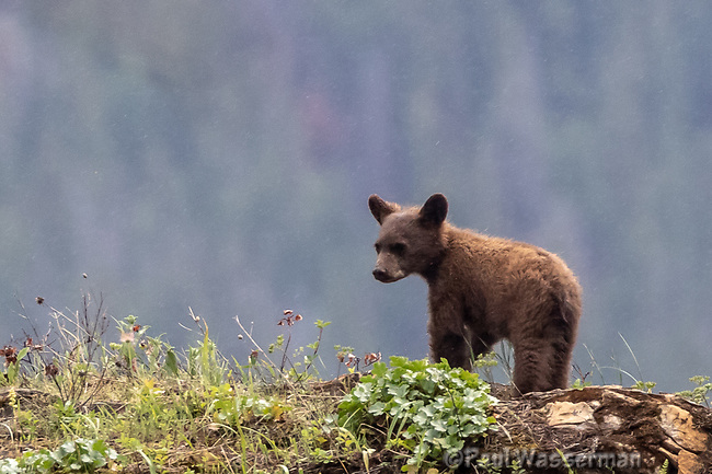 Grizzly Bear cub in the rain, on the east end of Going to the Sun Road, Glacier National Park, Wyoming