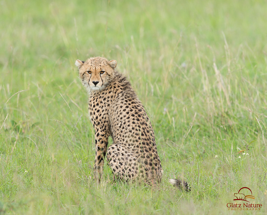 Cheetah cub (Acinonyx jubatus) scowls at photographers, Masai Mara