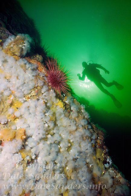 Scuba Diver explores a west coast reef in Clayoquot Sound, on Vancouver Island, British Columbia, Canada.