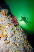 Scuba Diver explores a west coast reef in Clayoquot Sound, on Vancouver Island, British Columbia, Canada.