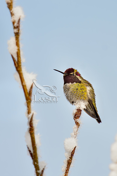 Male Anna's Hummingbird (Calypte anna) perched on limb just staring to bud and covered with fresh snow.  Western Washington, Feb.