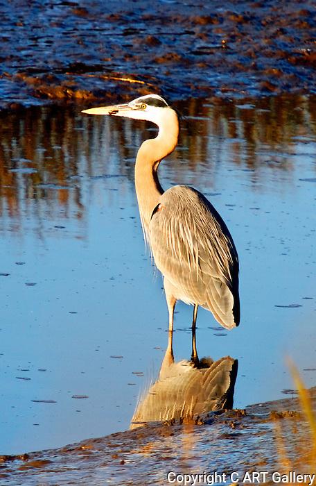 Blue Heron at Dusk, Upper Newport Bay, CA.