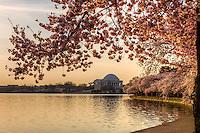 Cherry Blossoms Jefferson Memorial Tidal Basin Washington DC