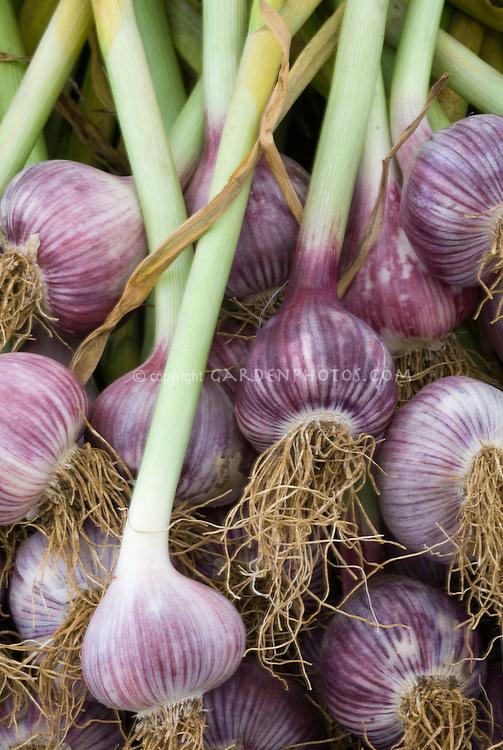 Purple garlic Allium sativum harvested showing many bulbs hardneck type