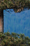 Distant pine forest through an opening in a ponderosa pine tree