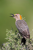 Golden-fronted Woodpecker (Melanerpes aurifrons), male eating berries, Laredo, Webb County, South Texas, USA