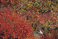Willow Ptarmigan. Camouflage against Willow leaves. Late August. Denali National Park, Alaska. (Lagopus lagopus).