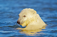 polar bear cub, Ursus maritimus, swimming, Arctic National Wildlife Refuge, Alaska, Arctic Ocean, polar bear, Ursus maritimus