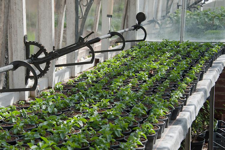 Snapdragon (Antirrhinum majus) seedlings, Greenhouse, Hinton Ampner, Hampshire, late April.