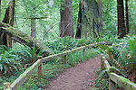 Trail in Redwoods, Redwood National Park, Prarie Creek Redwoods State Park, California, USA  Sword Fern, moss, Salmon berries and huckleberries cover the forest floor while Coast Redwood rise into late evening light.  Del Norte Coast south of Crescent City, California near the Smith River.  Redwood National and Redwood State Parks include numerous camp grounds, rivers, hiking, fishing, camping, photography, birding, biking and other outdoor adventures. Long exposure at dusk.