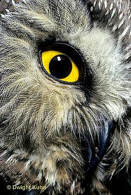 OW02-198z  Saw-whet owl - close-up of face showing curved beak and eye - Aegolius acadicus