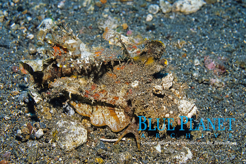 Spiny devilfish or Popeyed sea goblin or Demon stinger, Inimicus didactylus, Siau Island, North Sulawesi, Indonesia, Pacific Ocean