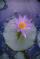 Water lily, high grain film
