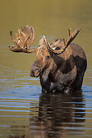 moose, Alces alces, bull with large antlers in velvet, in the water, Denali National Park, interior of, Alaska, USA