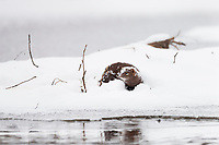 Mink pauses in the snow along the edge of a stream during freeze up in Alaska's interior.