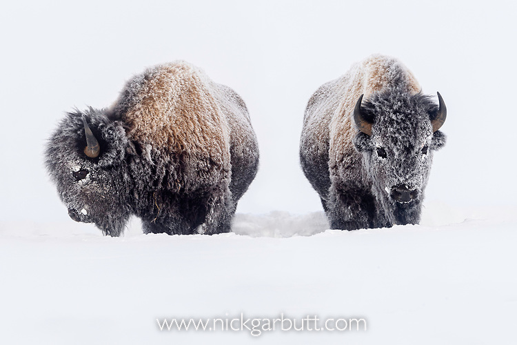 Two adult male American bison (Bison bison) covered in early morning hoar frost (-20C). Hayden Valley, Yellowstone, USA. January