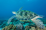 Anda, Bohol, Philippines; a green sea turtle swimming over the coral reef