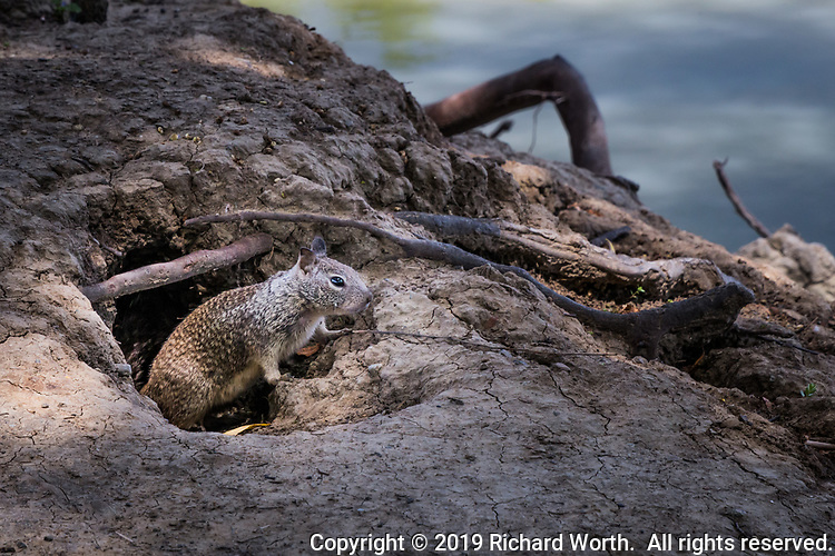 A ground squirrel crouches in its burrow along the shoreline at Lake Elizabeth Park in Fremont, California