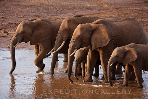A herd of African elephants with adults and young drinking water from the Uaso Nyiro River between Samburu and Buffalo Springs National Reserves in Kenya.