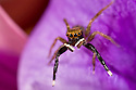 Male Jumping Spider {Euophrys frontalis} amongst flower petals, Peak District National Park, Derbyshire, May.