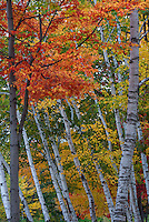 Maple and Birch, White Mountain National Forest,  New Hampshire.