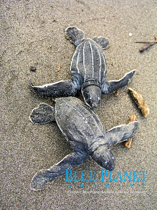 leatherback sea turtle hatchlings, Dermochelys coriacea, running towards the ocean, Dominica, Caribbean, Atlantic Ocean