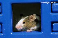MU60-076z  Pet mouse - exploring