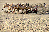 KENYA Marsabit, Rendile pastoral tribe, village Ngurunit, camels get water from water hole fenced with thorn shrub in dry river bed of river Ngurunit / KENIA, Marsabit, Dorf Ngurunit, Rendile Hirten traenken ihre Kamele an Wasserloechern im trockenen Flussbett des Fluss Ngurunit
