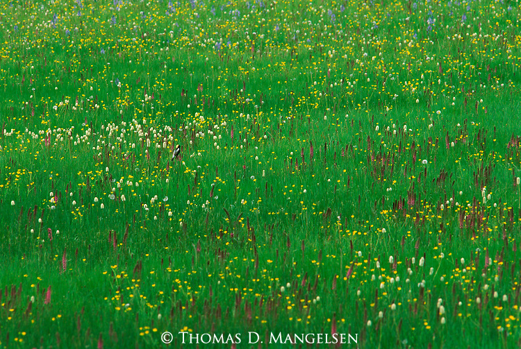 A bobolink perches in a meadow of flowers.