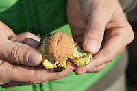 Kind schält Walnuss, grüne Schale wird von der Nuss abgeschält, Walnuß, Wal-Nuss, Wal-Nuß, Reife Früchte, Nüsse, Walnüsse, Ernte, Juglans regia, Walnut, Noyer commun